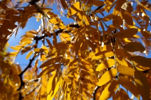 yellow leaves, autumn, locust leaves, close up, texture