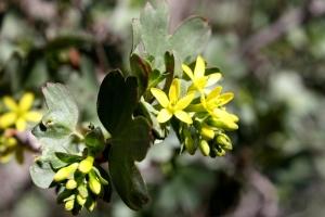 yellow flowers, clove currant, bush