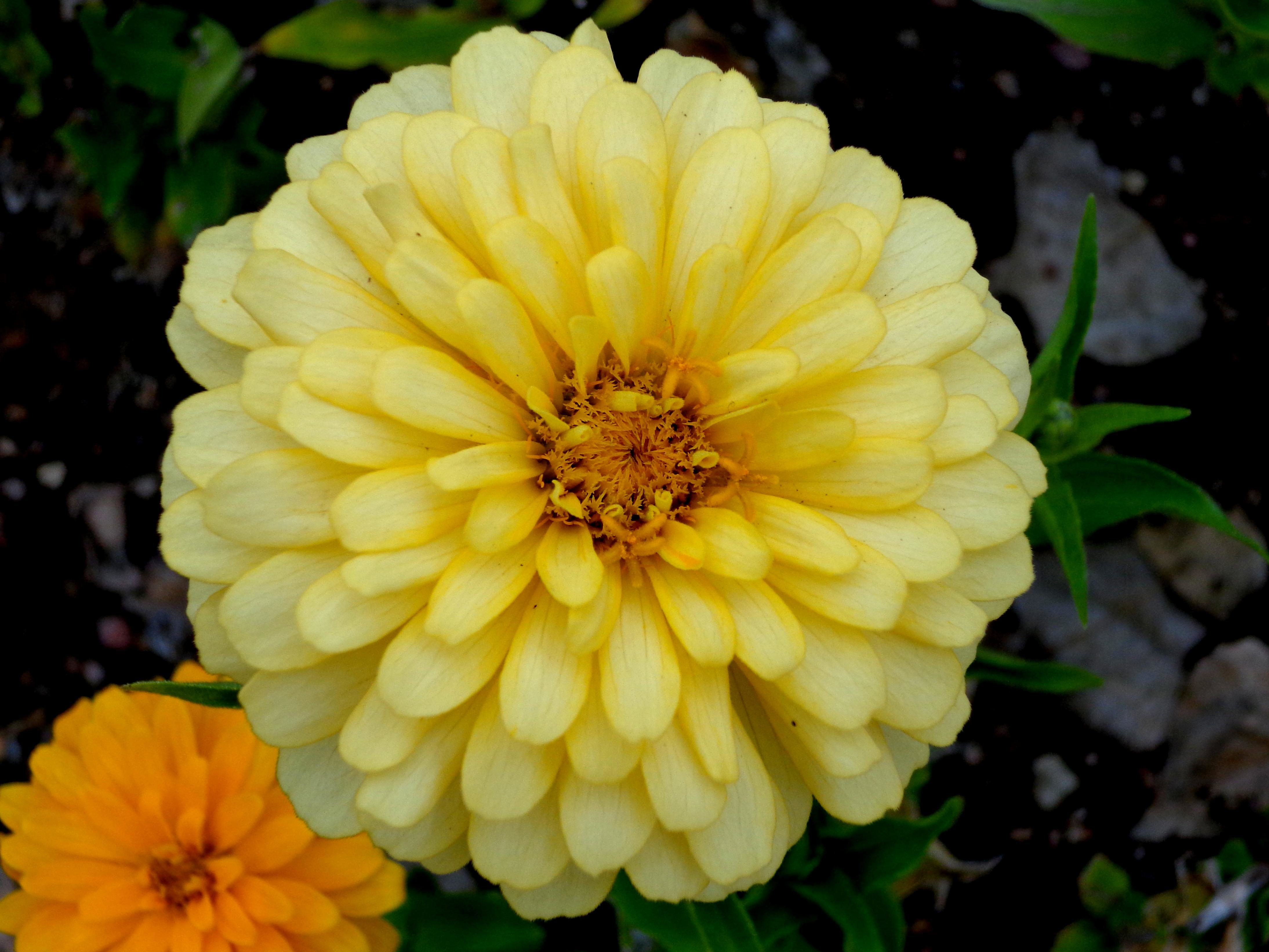 Free picture yellow flower zinnia flower yellow flower zinnia flower mightylinksfo