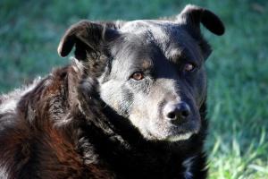 domestic dog, canine, black dog, close up