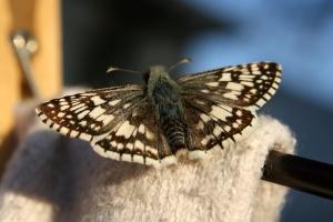 màu nâu, màu trắng, rô bướm, côn trùng