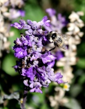 insect, bumble bee, purple flowers