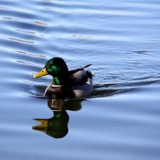 duck, mallard