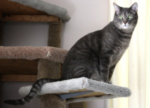 siva tabby mačke, maca, penjanje mačke