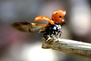 ladybug, flight