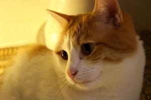 narančasta mačka, bijela mačkica, lice, zatvoriti