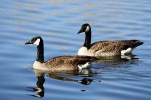 deux oiseaux, oies du Canada, de l'eau