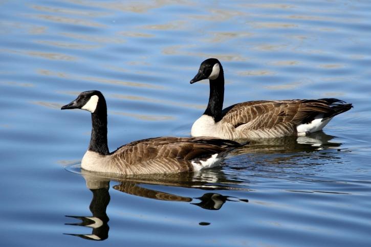 fåglar par, kanadensiska gäss, vatten