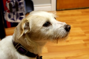 terrier dog, domestic dog, canine