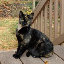 tortie cat, pet