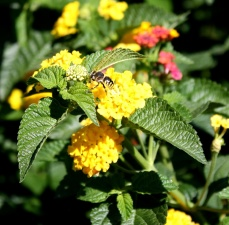 wasp, insect, yellow flowers