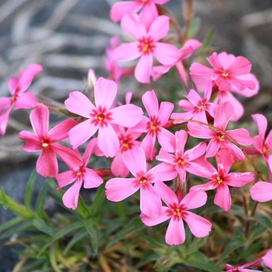 creeping plant, phlox plant, pink, flowers