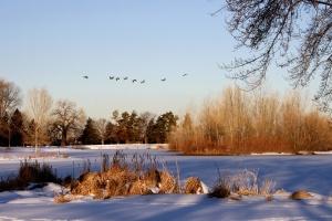 oies voler, surgelé, lac, hiver
