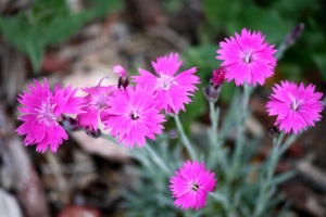 pink, dianthus flowers