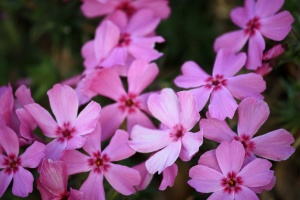 flores rosadas, flores del phlox de plisado
