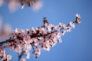 sprig, pink, plum flowers, blossoms