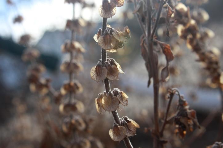 stabljika, sušene, bosiljak, sjemenke