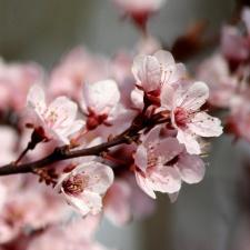 Gewitterwolke, Pflaume Blumen, Blüten