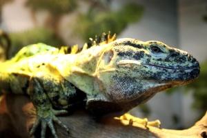 colorful lizard, exotic reptile