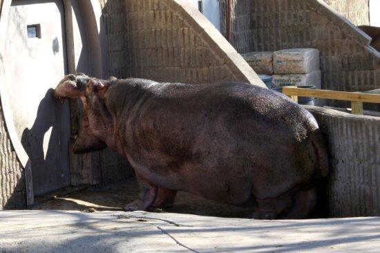 Hipopótamo, animal, parque zoológico