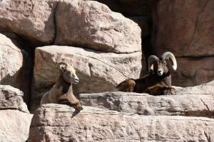 montagna rocciosa, pecore bighorn