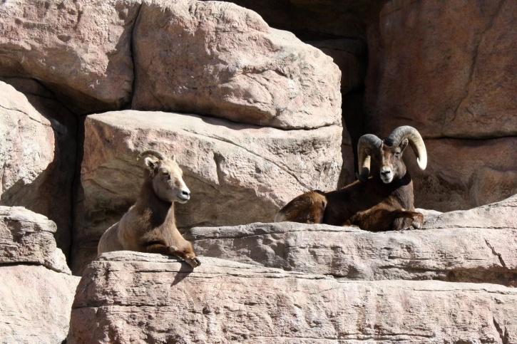 rocky mountain, bighorn sheep