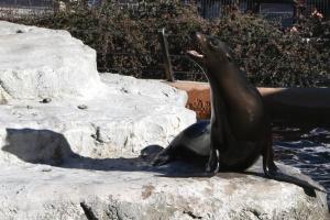 sea lion, animal
