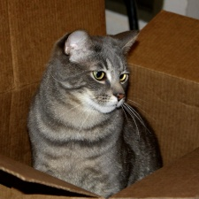 gray, tabby cat, cardboard, carton box