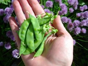 hand, snow peas plant, vegetable