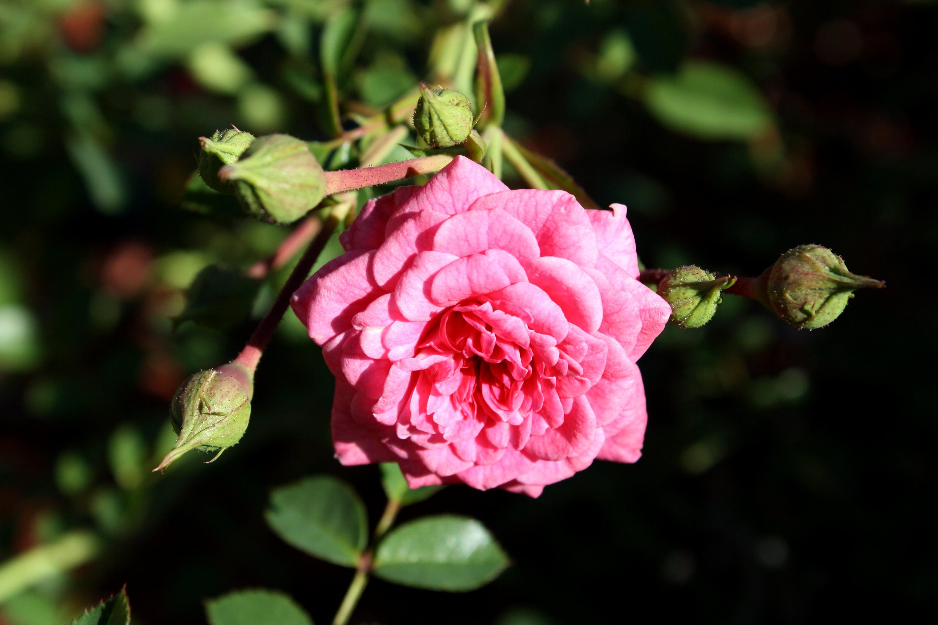 free picture: bright pink rose, flower, bloom, flower garden