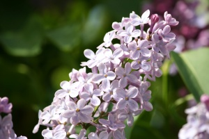 cluster, purple, lilac, flowers