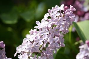 клъстер, лилаво, Люляк, цветя