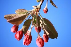 apple flower, buds