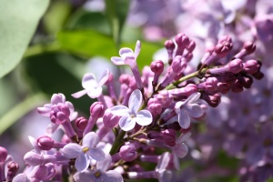 lilac flowers, bloom