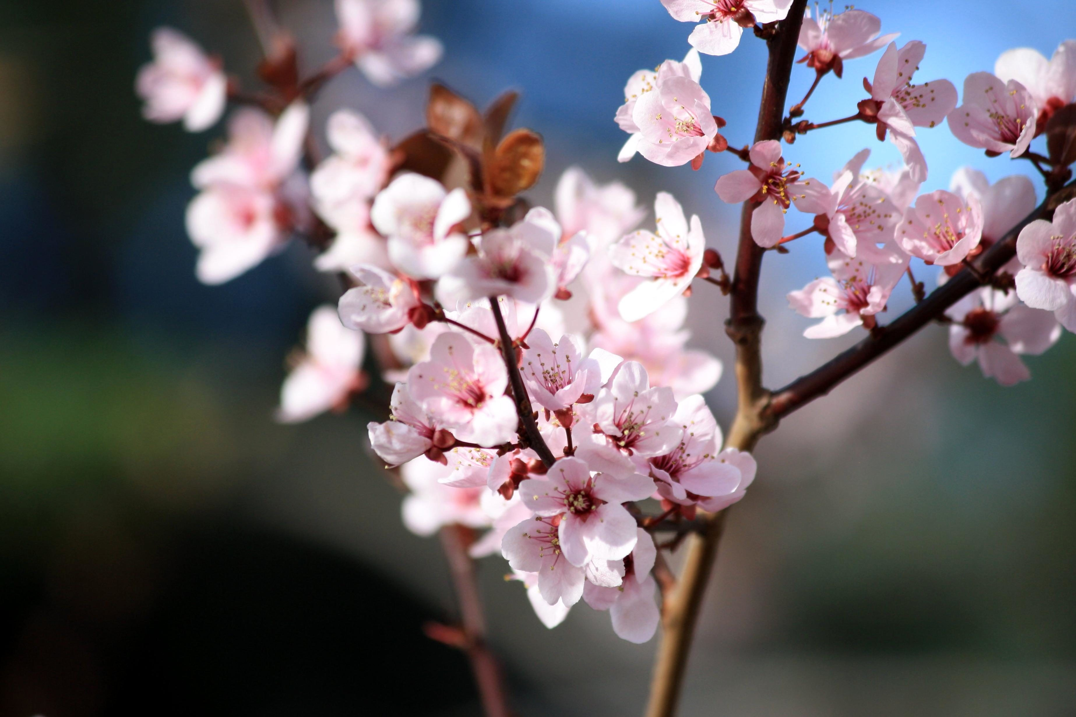 free picture pink flowers blossoms plum tree