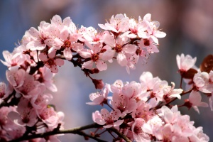 pink, plum flowers, blossoms, spring, branches