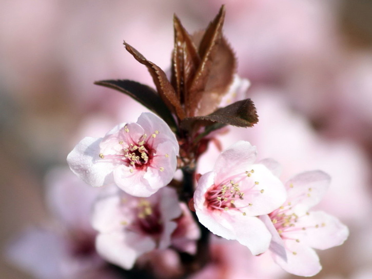 plum, blossoms, sprouting, leaves