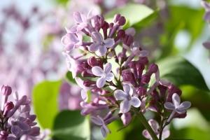 цветята, Люляк, цъфтящи, пролет, клонове