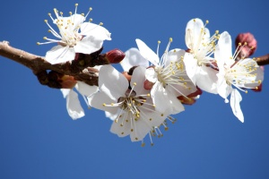 white flowers, petals, spring, fruit, blossoms