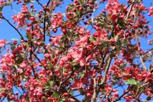 blooming, flowers, pink, apple tree