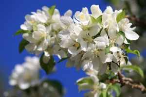 cluster, white flowers, blossoms, tree