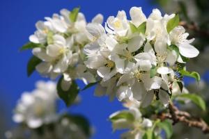 клъстер, бели цветя, цветове, дърво