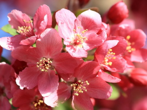 рожевий, пелюстки, закрити, нектар, весна, квіти, сад, цвітіння