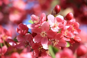 apple tree, blossoms, flowering, pink petals, orchard, spring