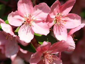 flowering cherry tree, spring, blossoms, petals
