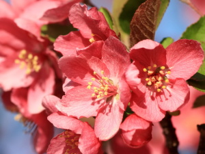 red, crabapple, blossoms, close up