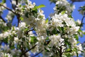 printemps, pommier, fleurs, pétales blancs, branche