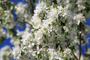 orchard, white flowers, blossoms, apple, tree, spring