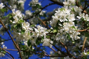 white flowers, apple tree, spring, branches