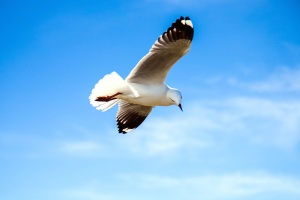 bird, fly, sea, seagull